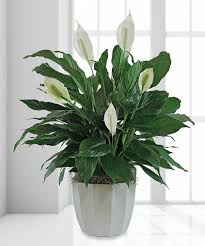 Peace Lily Serenity Peace Lily 8
