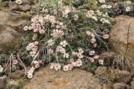 helichrysum praecurrens north american rock garden society