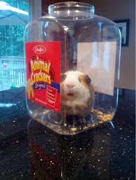 Guinea Pig Meme - my sisters guinea pig dug his own grave meme guy