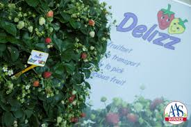 hardest plant to grow strawberry delizz f1 all america selections