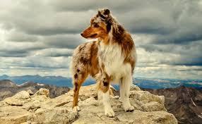 australian shepherd neck size australian shepherd dog breed information and images k9rl