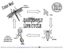 dragonfly lifecycle worksheet bug theme pinterest life