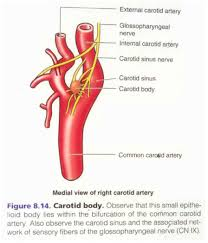 sinus of valsalva anatomy gallery learn human anatomy image