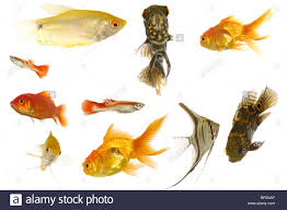 group of fish many different aquarium fish isolated on white