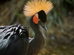 african crowned crane birds images hd