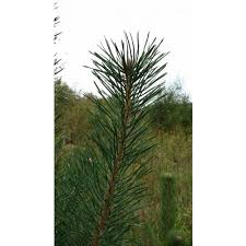 scotch pine christmas tree scotch pine trees bare root seedlings for sale cold farm