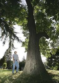 sylvania sassafras among 11 in area on list of state record trees