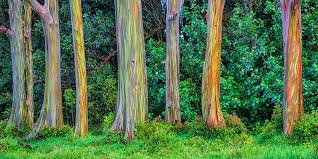 rainbow eucalyptus tree most colorful trees