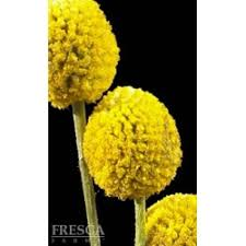 Billy Balls Craspedia Billy Balls 10 Bunches Florasourcedirect Com Buy
