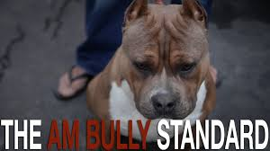 american pitbull terrier qualities the american bully breed standard youtube