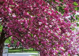 pink flower tree kwanzan cherry tree profile and care