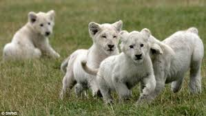 lions for sale fury as white lion cubs born in uk safari park are sent to a