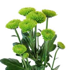 chrysanthemum u0027feeling green u0027 complement any flower arrangement