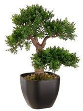 italian cypress bonsai interesting bonsai a garden juniper