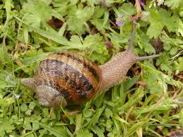 slow farming with snails or heliculture brisbane local food