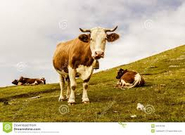funny cow looking at you royalty free stock photos image 34376768