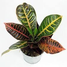 croton these plants the codiaeum variegatum love heat and lots