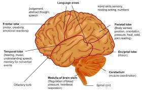 Right Side Human Anatomy A Closer Look At The Brain Ck 12 Foundation