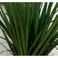 Dracaena Marginata Shop 1 25 Quart Dracaena Marginata L20958hp At Lowes Com