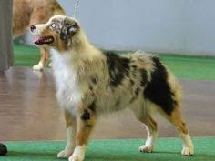 training a australian shepherd before and after shaving our australian shepherd my puppy