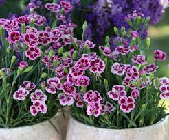 dianthus flower dianthus flower search plantae dianthus