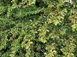 fagus sylvatica raw edible plants beech nuts fagus sylvatica
