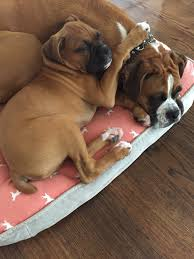 2 female boxer dogs together mora topline boxers referrals