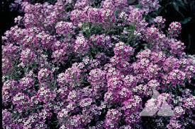 alyssum flowers lroy 1 jpg