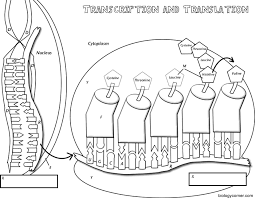 Dna Rna And Protein Synthesis Worksheet Transcription Translation Coloring
