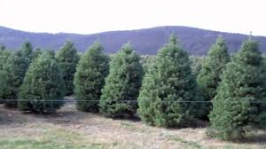 10 000 christmas trees in nj evergreen valley christmas tree