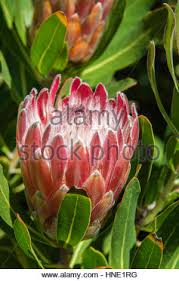Protea Flower South Africa - the beautiful national flower of south africa is the king protea
