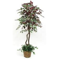 9 best indoor trees plants images on ficus indoor