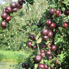 buy patio dwarf fruit trees j parker dutch bulbs
