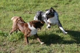 australian shepherd mit 6 monaten australian shepherd maddox nandini u0026 co australian shepherd