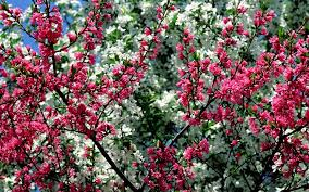 free spring desktop wallpaper desktop free spring flowers