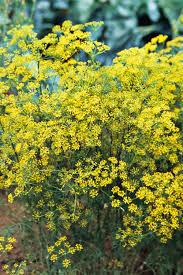 best flowering herbs blooming herbs with flowers