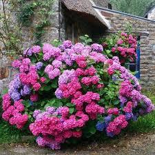 hydrangeas flowers 21 best hydrangeas images on hydrangeas hydrangea
