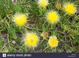 State Flower Of Montana - yellow wild flowers wildflowers at montana de oro state stock