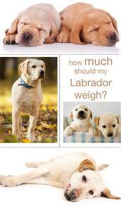 How Much Does A Sofa Weigh How Much Should My Labrador Weigh