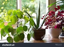 house plant display on windowindoor houseplants stock photo