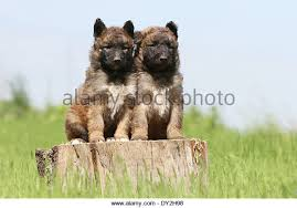 belgian sheepdog laekenois dog belgian shepherd laekenois puppies stock photos u0026 dog belgian