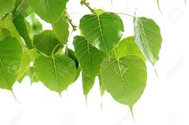 bodhi leaf from the bodhi tree sacred tree for hindus and buddhist