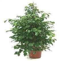 dumb cane dieffenbachia poisonous house plants toxic house