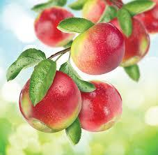 fruit fresh fresh macintosh apples martin