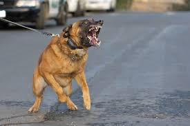 belgian shepherd kinds police dog breeds most efficiently use all over the world funklist
