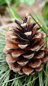white pine cone pine cones meadow grass nature green free images imaiges