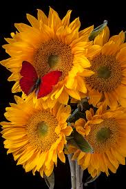butterfly with four sunflowers photograph by garry