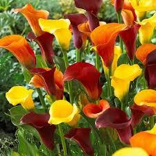 calla bulbs calla bulbs zantedeschia aethiopica babylonbloom