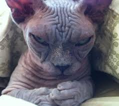 Hairless Cat Meme - grumpy cat hairless cat meme mne vse pohuj