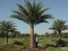 sylvester palm tree prices chambeyronia macrocarpa thrower palm ps up to 20 but